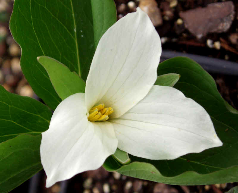 Names of Dicot Plants http://nsamir.edublogs.org/2010/05/22/monocot-and-dicots/